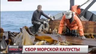 Заготовка морской капусты в Хабаровском крае. Новости. GuberniaTV