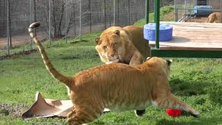 Ligers Play With