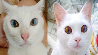 Cats Born With Heterochromia Have The Most Magical Eyes We've Ever Seen