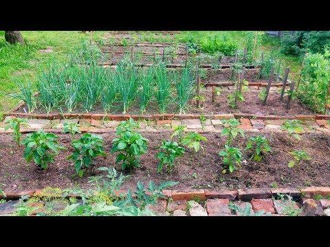 Обзор огорода . Середина июня