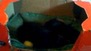 Mortal Kombat Dachshund Puppies - Fight!