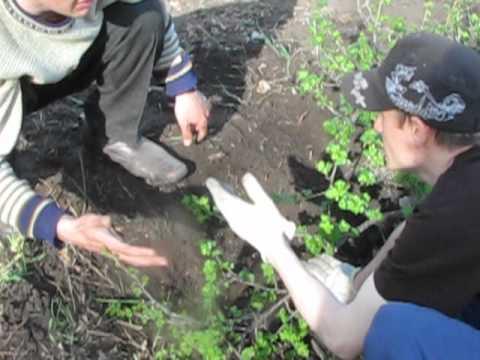 Смородина золотистая (фото) – посадка размножение и уход