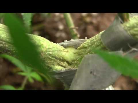 Cannabis plant damage repair (extreme up-close!)