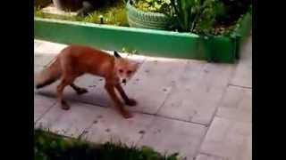 Бешеная лиса.Beshennaja fox