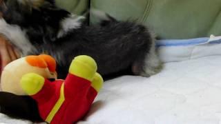 2009年10月24日生まれのチャイニーズクレステッドドッグの子犬です。 ht...