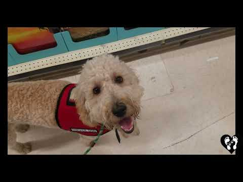 Houston dog training | 8 month old Goldendoodle puppy Darlin service dog in training