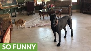 Funny cat chases playful Great Dane puppy