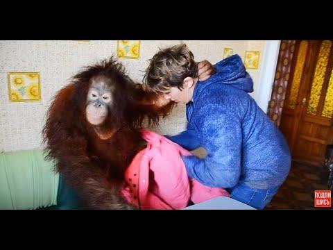 Орангутан Дана одевается и уезжает к себе в квартиру :)