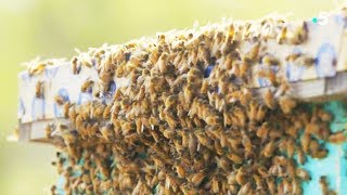 Ces abeilles tueuses attaquent une ruche ! - ZAPPING SAUVAGE