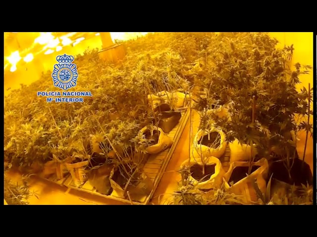 Incautan más de 3.500 plantas de marihuana en 2 chalets de León controlados por ciudadanos chinos
