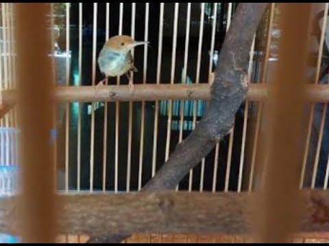 Cara Bedakan Jantan Dan Betina Burung Prenjak Kepala Merah