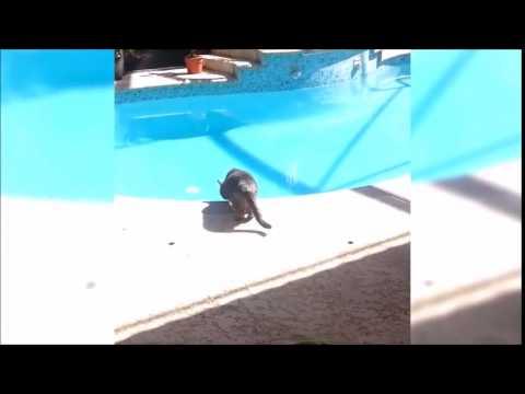 Cat dive into a pool