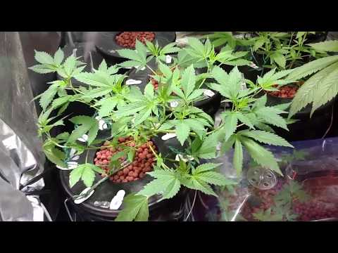 Grow Journal #49: Seedlings Transplanted in Veg Tent - 5.7.2017
