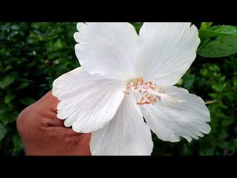 WHITE HIBISCUS PLANT CARE || Best Fertilizer for hibiscus plant