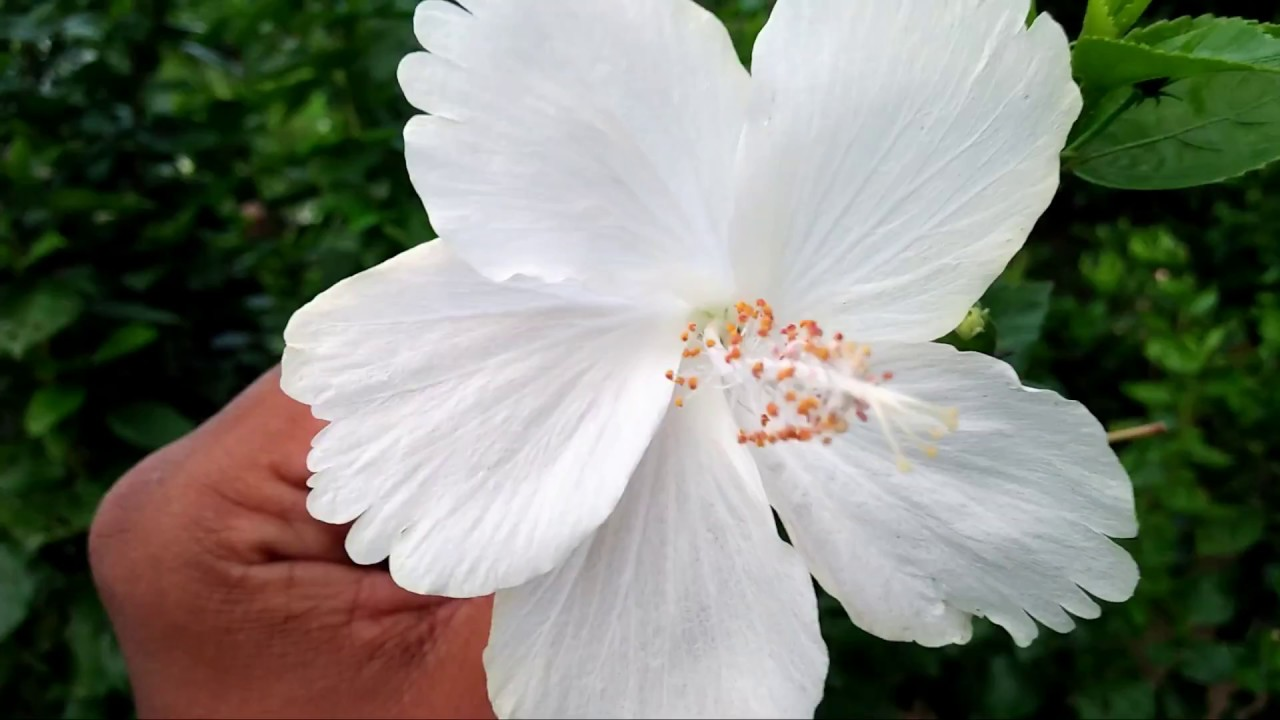 White Hibiscus Plant Care Best Fertilizer For Hibiscus Plant
