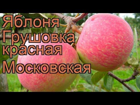 Яблоня обыкновенная Грушовка красная Московская 🌿 обзор: как сажать, саженцы яблони