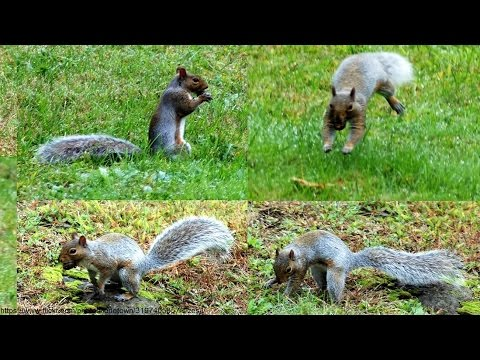 Squirrels Burying Nuts Documentary