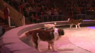 Дрессированные собаки в Ярославском цирке