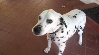 Sam, Dalmatian-pitbull Mix, Eats Cheese!