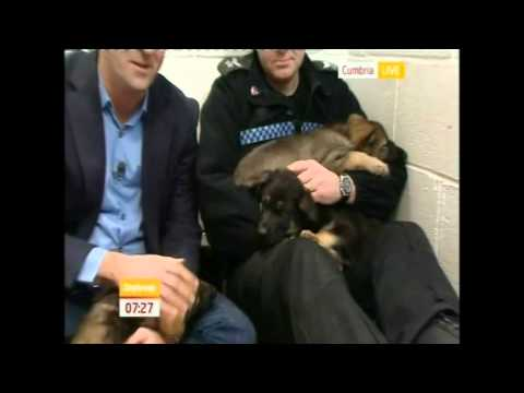 Police Puppies - Our New Recruits Behind The Scenes On Daybreak (cumbria Police)