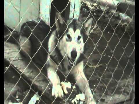 Alaskan Malamute Dog !!!