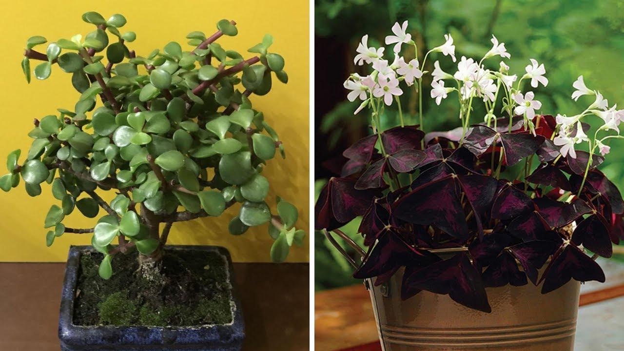 Albero Della Fortuna Pianta 5 piante che attraggono fortuna e soldi a casa tua