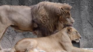 いい夫婦・ライオンのハヤテとオト@のんほいパーク
