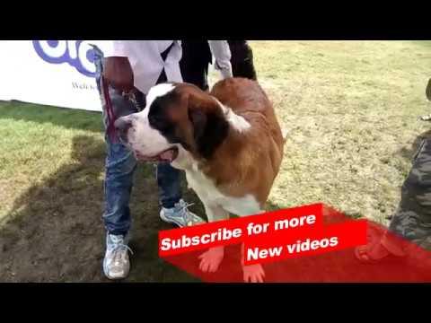 Wow ! Most Amazing dog breeds worldwide | Saint Bernard |