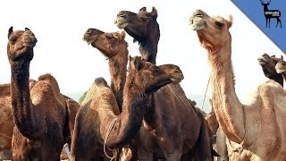 Are Camels Taking Over Australia?