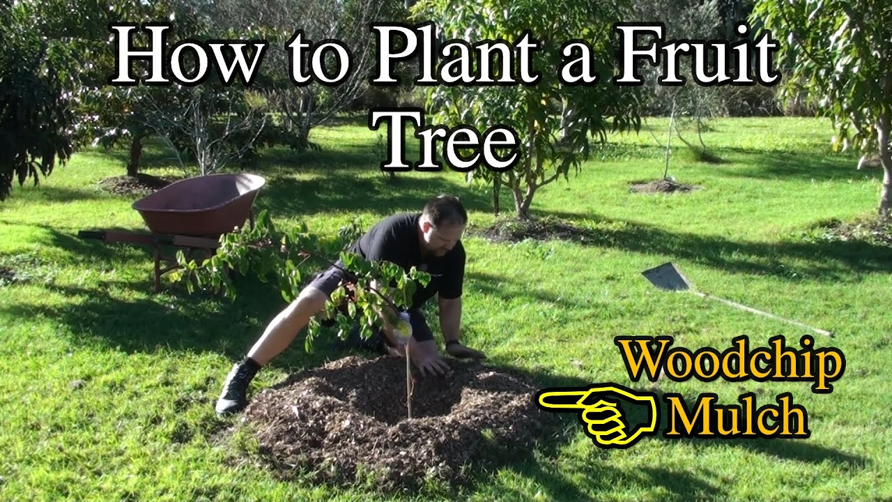 how to plant a tree Gardener's supply -- when dry weather the amount of water a tree needs depends on many factors keeping it from reaching plant roots it's best to keep a.