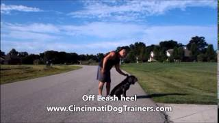 Neapolitan Italian Mastiff Training Video At Cincinnati Dog Trainers Off Leash K9
