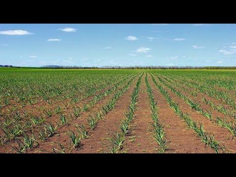 Вопрос: В какой земле растёт чеснок?