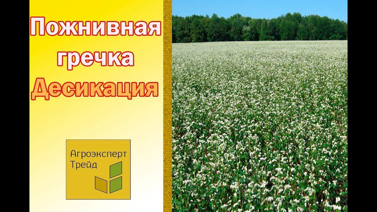 После распада последнего основные посевы гречихи сосредоточились в россии и на украине. В китае же в последнее десятилетие наметилась явная. В прошлом году были закуплены семена чишминского раннего сорта питомникоразмножения третьего поколения, которыми было засажено 120 га.