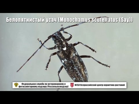 Белопятнистый усач (Monochamus scutellatus (Say))