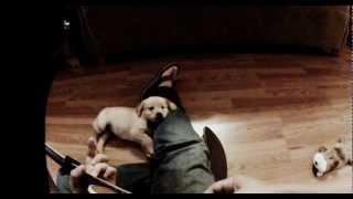 Golden Retriever Puppy Listening To Me Play Guitar