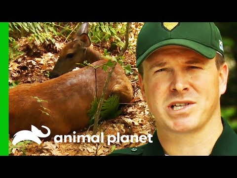 Conservation Officers Save A Distressed Deer Trapped In Mud | North Woods Law