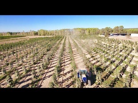 Kiri tree (Paulownia) plantation in Spain by WeGrow (new version with tracking)