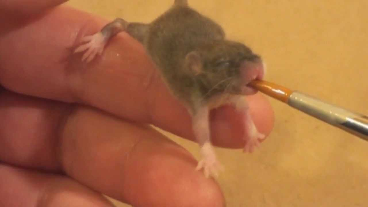 raising a baby mouse
