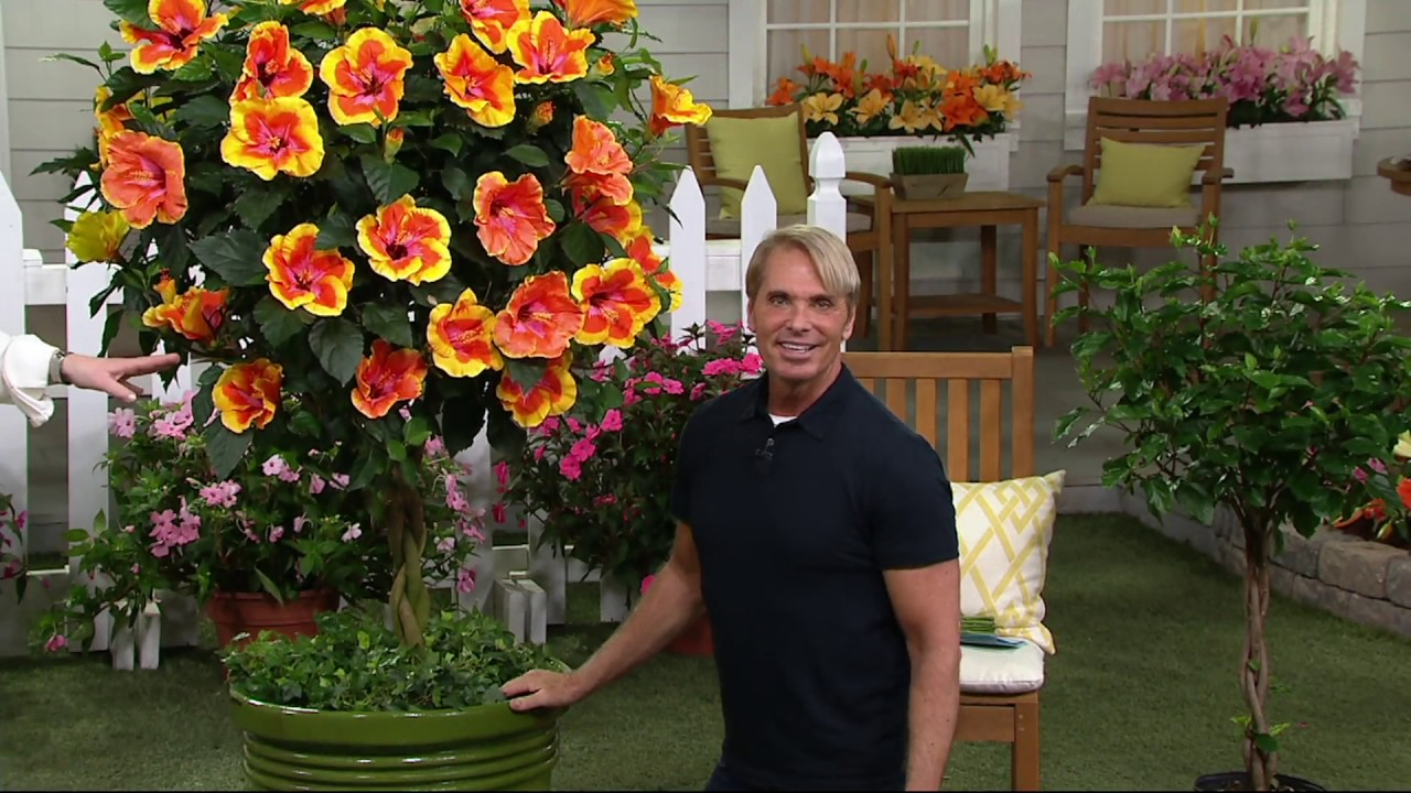 Cottage Farms Fiesta Braided Tropical Hibiscus Patio Tree On Qvc