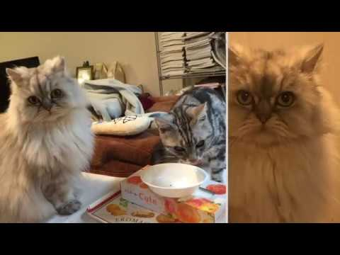 Two American-shorthair-silver-shaded-chinchilla-persian Half-breeds and Two Cats with Boss #5