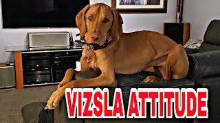 LIFE WITH HUNGARIAN VIZSLA DOG