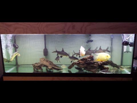 180 Gallon Aquarium Update With Bala Sharks, Oscar, Severum, Bichir And Catfish