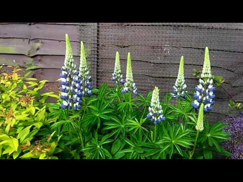 how to grow lupin from seed