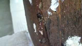 Ants Digging In Wooden Beam