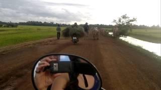 Rencontre avec un troupeau de bétail sur la route au Cambodge
