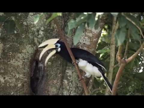 Oriental Pied Hornbill feeding.