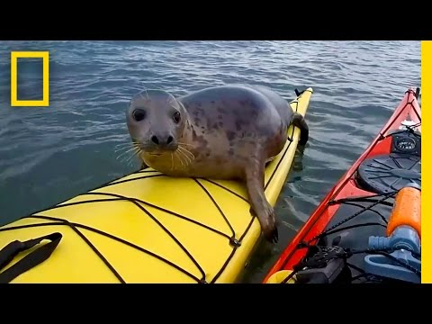 Adorable Seal Catches