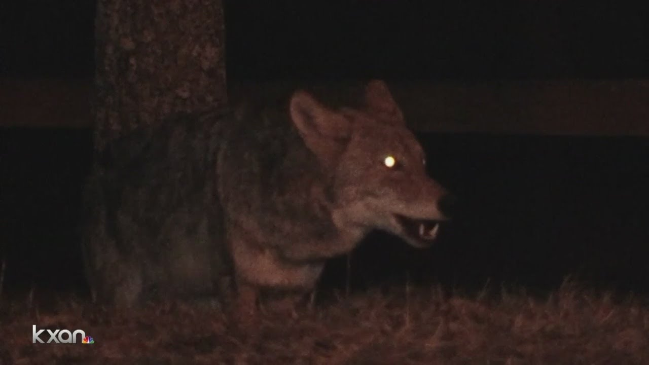 Caught on camera: Wild coyotes jump fence and kill five chickens in South Austin