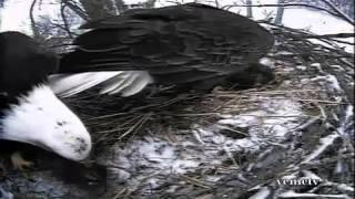 Кондор и Американский орел - две самые мощные птицы Америки