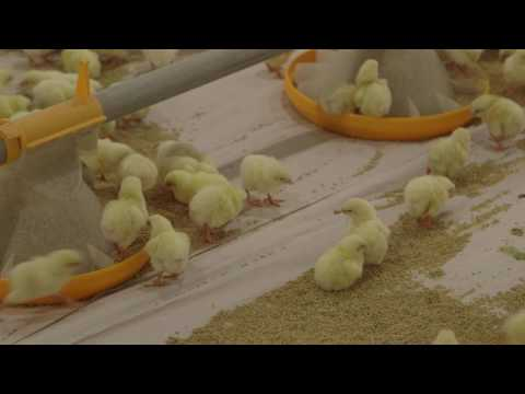 Broiler Brooding Best Management Practices